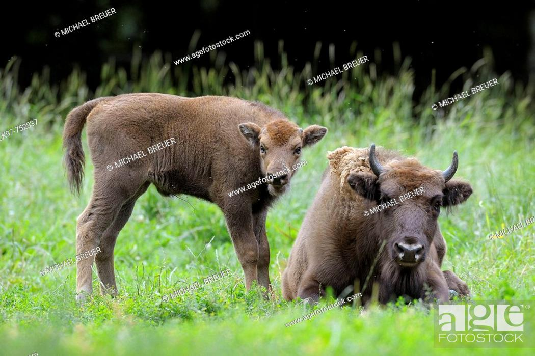 Stock Photo: European Bison, Bison, Bison bonasus, Cow with calf, Germany.