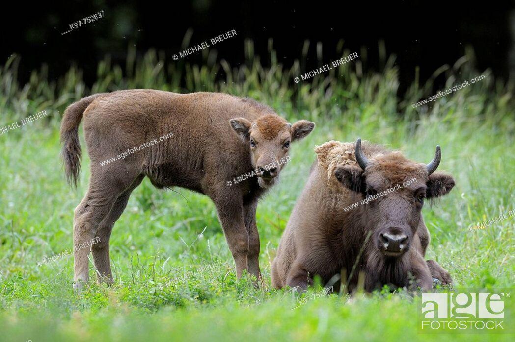 Stock Photo: European Bison, Bison, Bison bonasus, Cow with calf, Germany.
