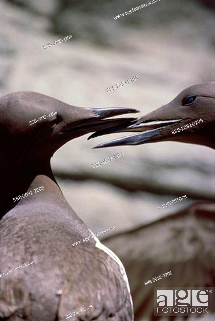 Stock Photo: Close-up of two Thick-billed Murres Uria lomvia.