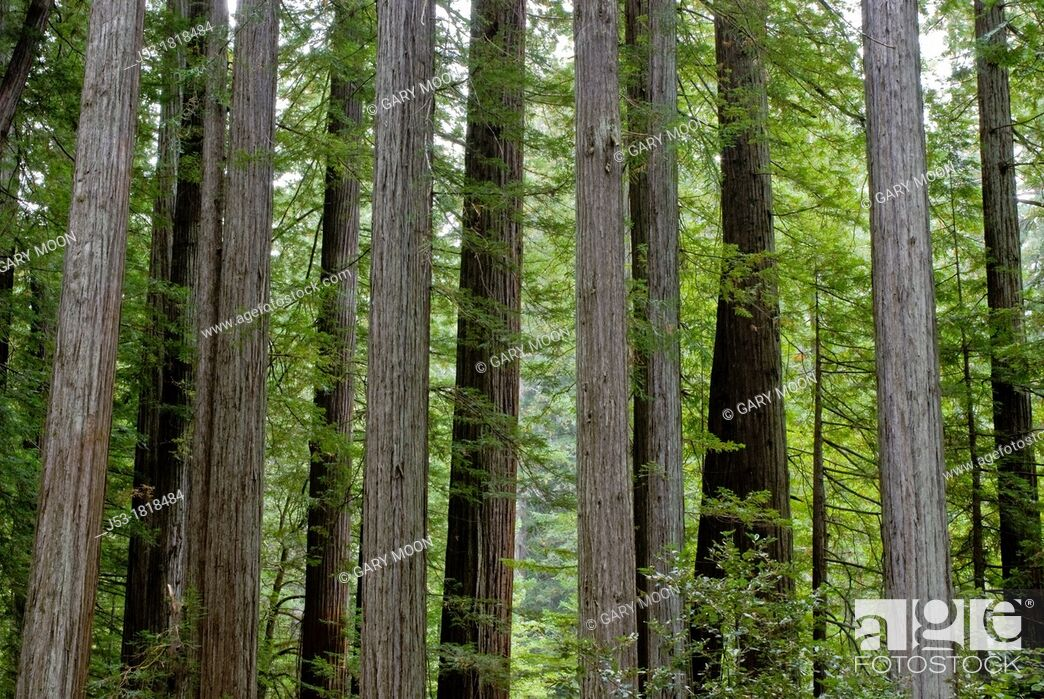 Stock Photo: Old growth coast redwood forest, Rockefeller Grove, Humboldt Redwoods State Park, Humboldt County, California.