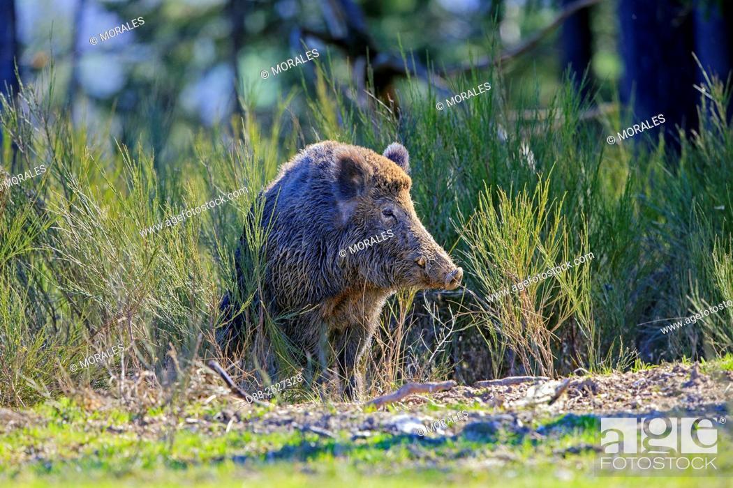 Stock Photo: France, Haute Saone, Private park, Wild Boar Sus scrofa, male.