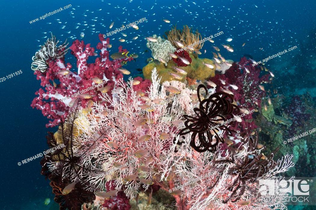 Stock Photo: Golden Cardinalfish between colorful Corals, Apogon aureus, Raja Ampat, West Papua, Indonesia.