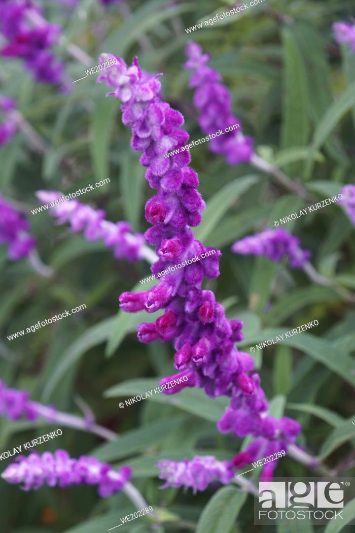 Stock Photo: Mexican bush sage (Salvia leucantha). Called Velvet sage also.