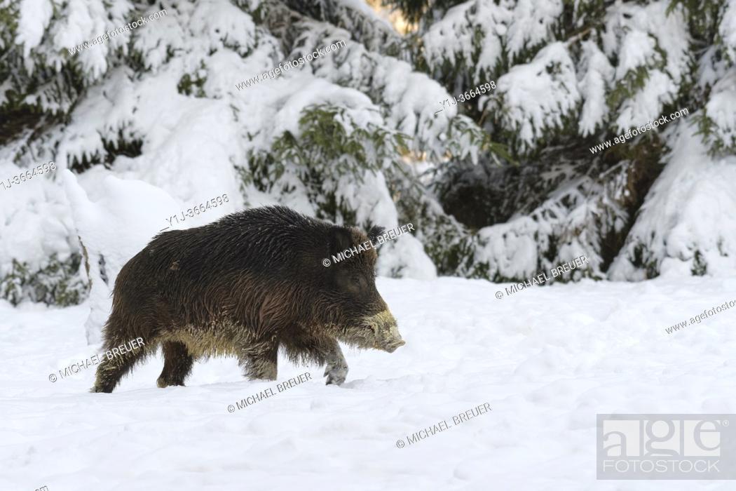 Stock Photo: Wild boar (Sus scrofa) in wintertime, Tusker, Germany, Europe.