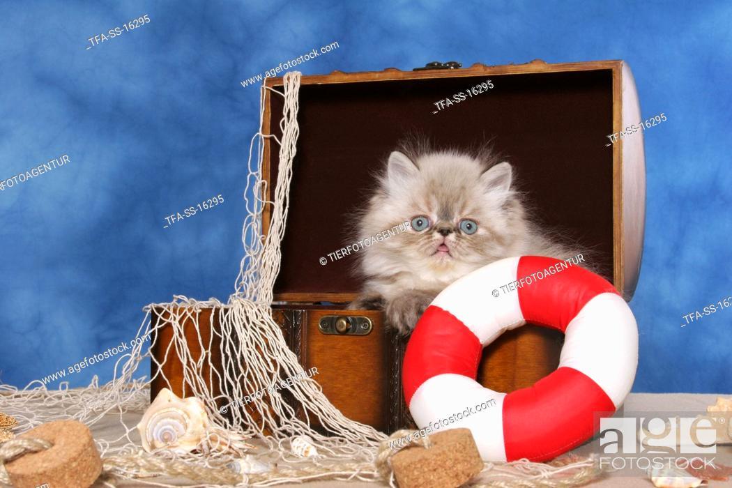 Stock Photo: persian kitten colourpoint in box.