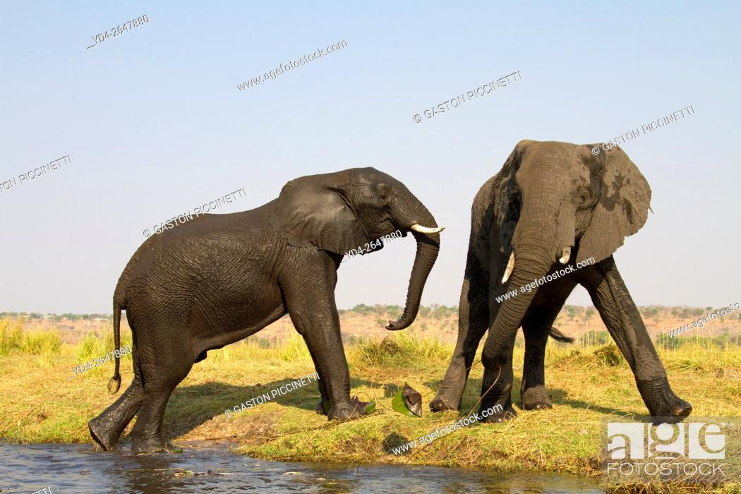 Imagen: African Elephant (Loxodonta africana), in the river, Chobe National Park, Botswana.