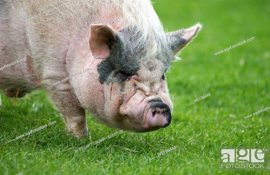 Stock Photo: Pig grazing on grassland, Leicestershire, England.