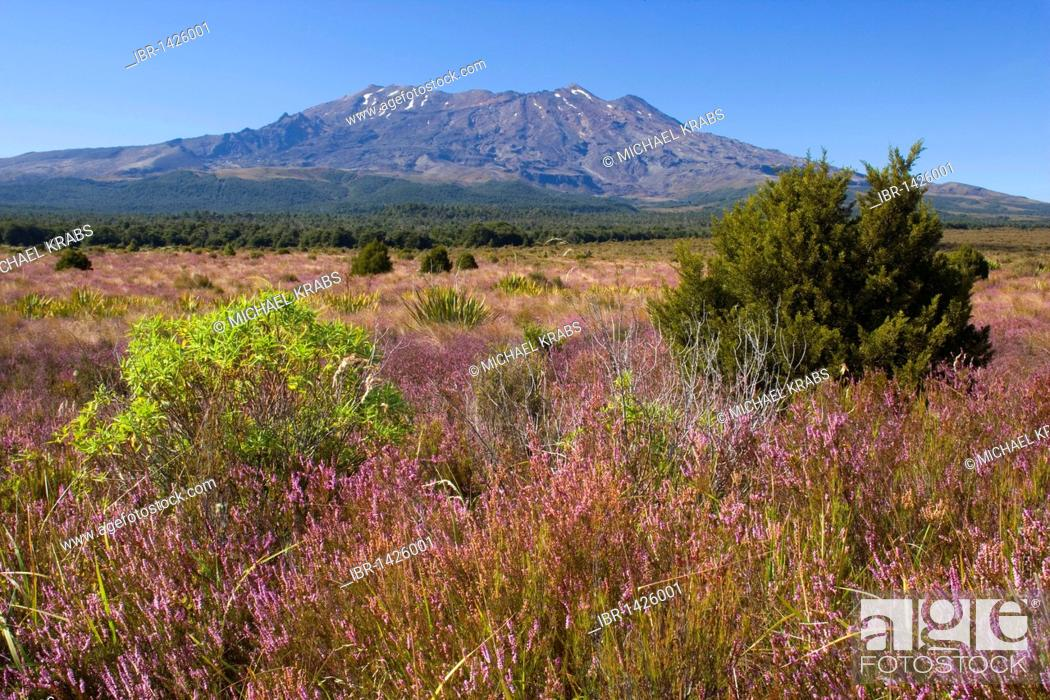 Stock Photo: Mount Ruapehu volcano rises out of the blooming, heather-covered plain, Tongariro National Park, North Island, New Zealand.