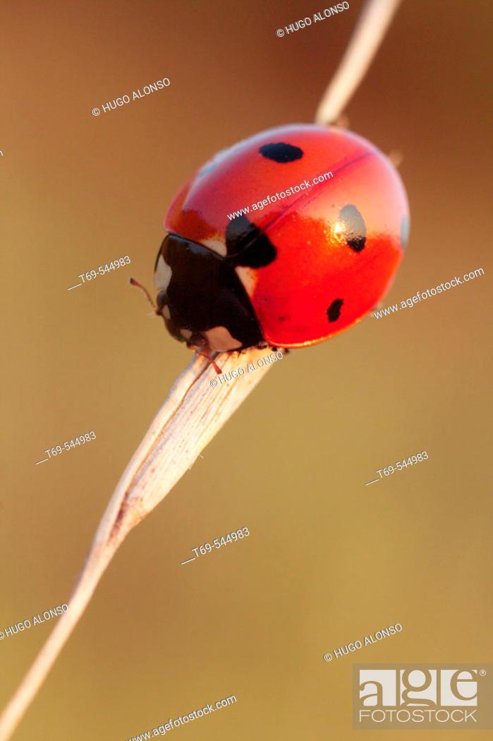 Stock Photo: Ladybug (Coccinella septempunctata). La Rioja, Spain.