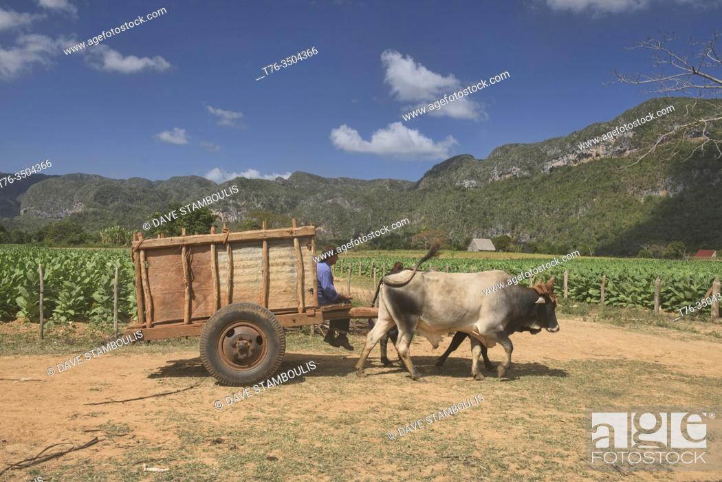Stock Photo: Scenes from the tobacco farms of the Viñales Valley, Cuba.