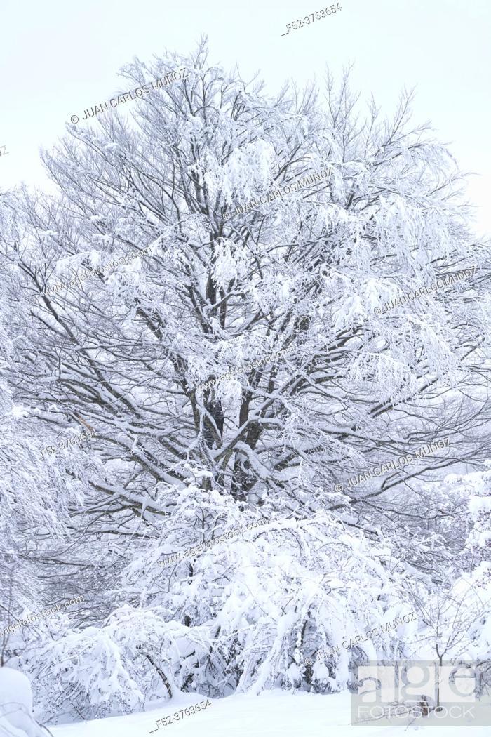 Photo de stock: Snowy beech forest in winter in Puerto de Opakua, in the Sierra de Entzia Natural Park. Alava. Basque Country. Spain. Europe.