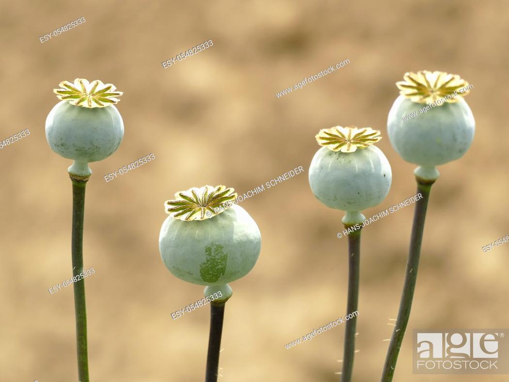 Imagen: Opium poppy with capsule.