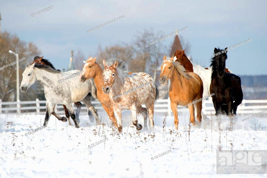 Herd Of Colorful Horses Black Appaloosa Palomino Bay Running Through A Snowy Field Gallop Stock Photo Picture And Low Budget Royalty Free Image Pic Esy 040852331 Agefotostock