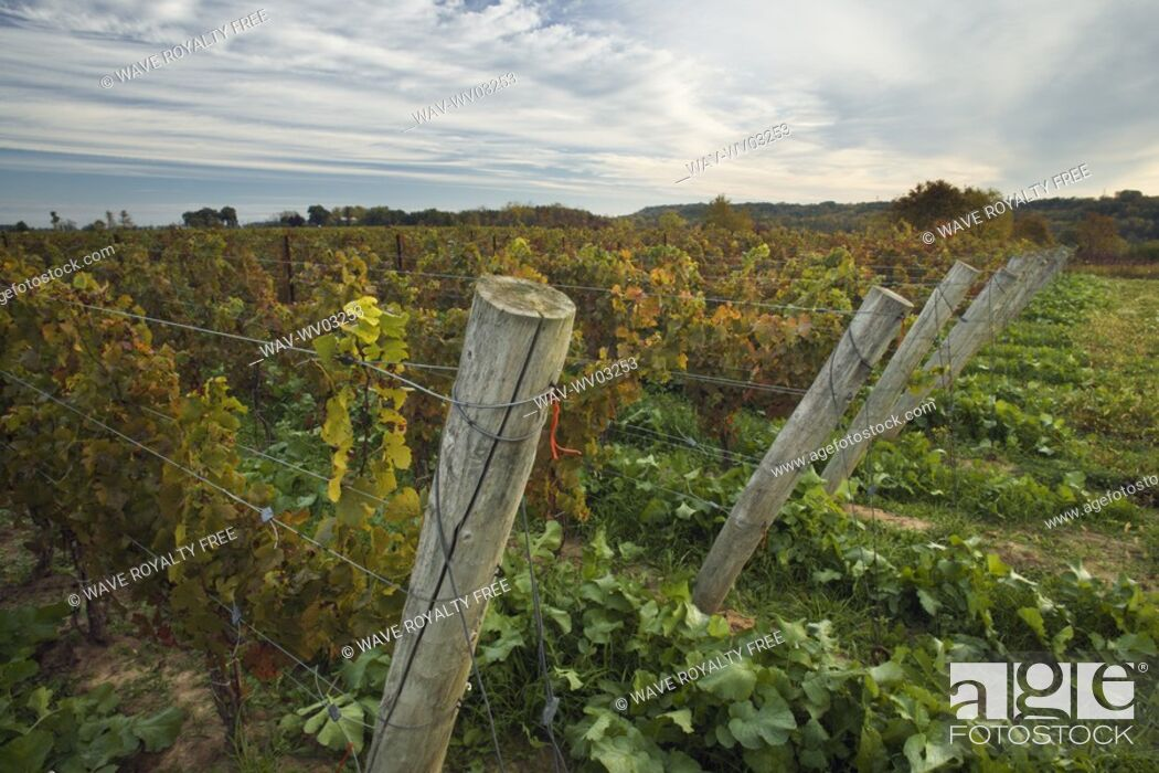 Stock Photo: Vineyard at dawn - Pelham, Ontario, Canada.