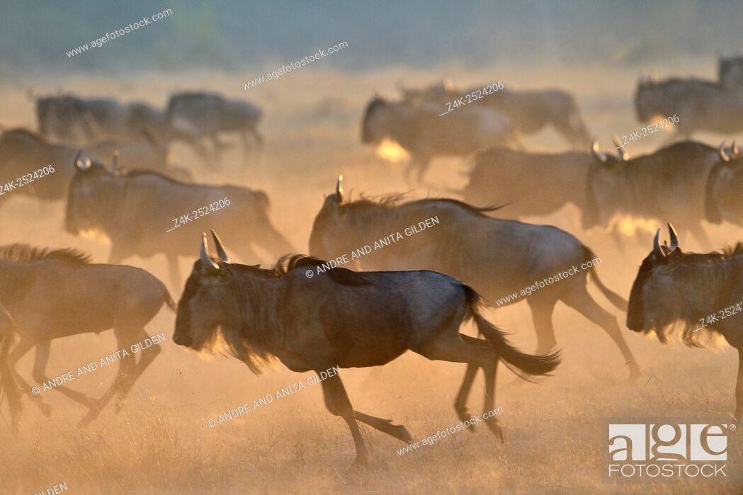 Stock Photo: Wildebeest (Connochaetus taurinus), gnu, running at sunrise during the great migration, Serengeti national park, Tanzania.