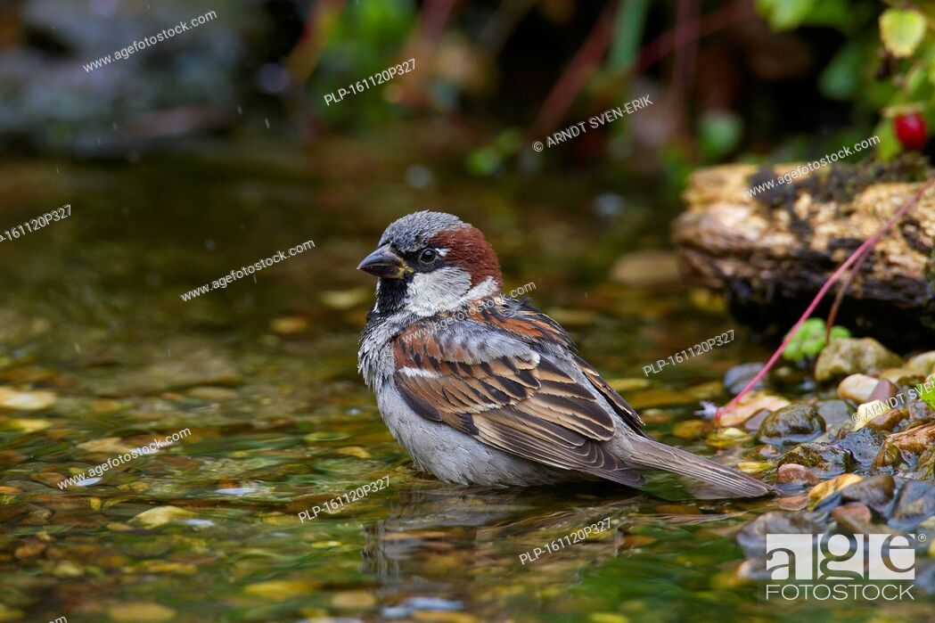 Imagen: House sparrow (Passer domesticus) male bathing in shallow water of brook.