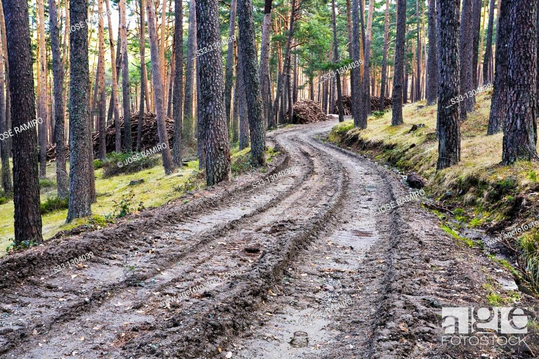 Stock Photo: Road in the Acebeda pinewood, Sierra de Guadarrama, Valsaín, Segovia province, Castile-Leon, Spain.