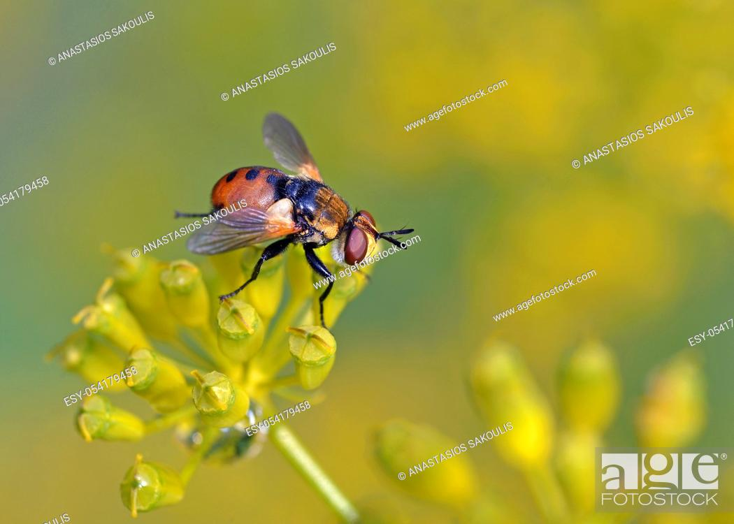 Stock Photo: Gymnosoma is a genus of flies in the family Tachinidae, Greece.