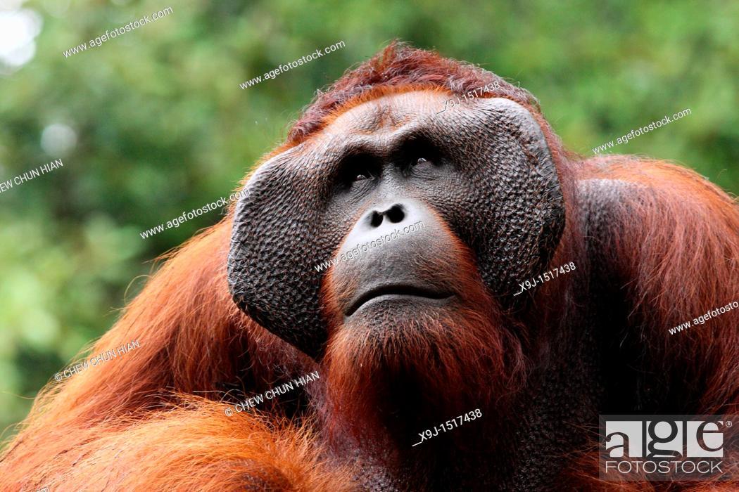 Stock Photo: Ritchie lives in Semengoh Wildlife Centre, Kuching, Sarawak, Malaysia.