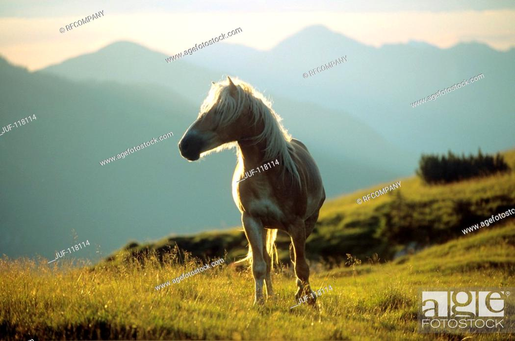 Stock Photo: Haflinger - standing on meadow.
