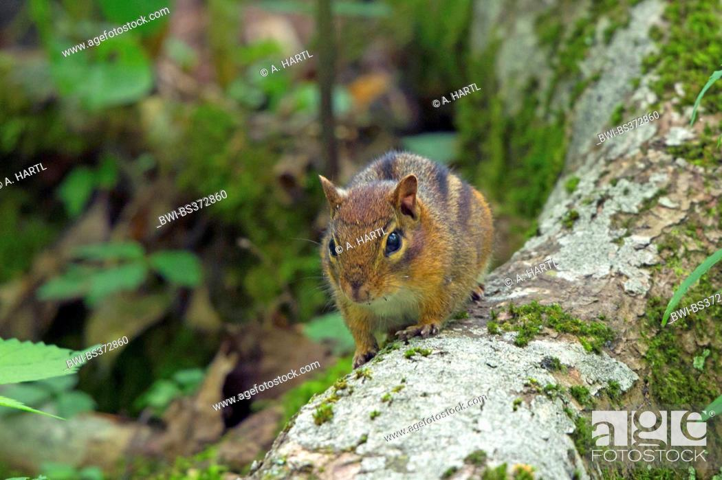 Stock Photo: Eastern American chipmunk (Tamias striatus), sitting on a mossy tree trunk, USA, Tennessee, Great Smoky Mountains National Park.