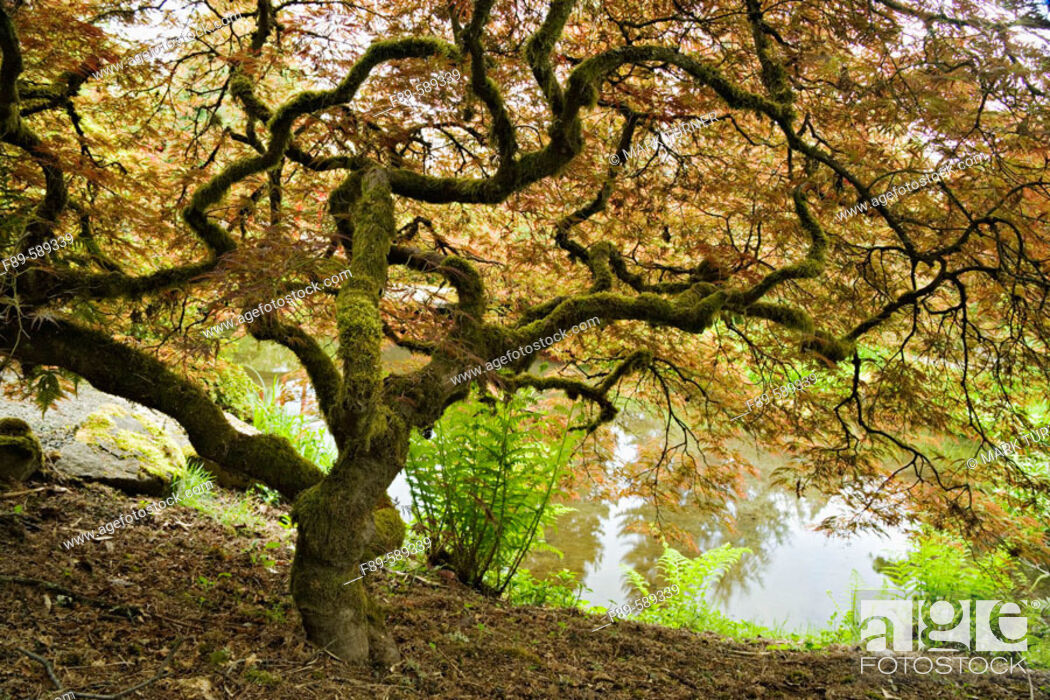 Stock Photo: Japanese Maple with contorted trunk, from below with pond background (Acer palmatum 'Dissectum'). Kubota, Seattle, Washington. USA.