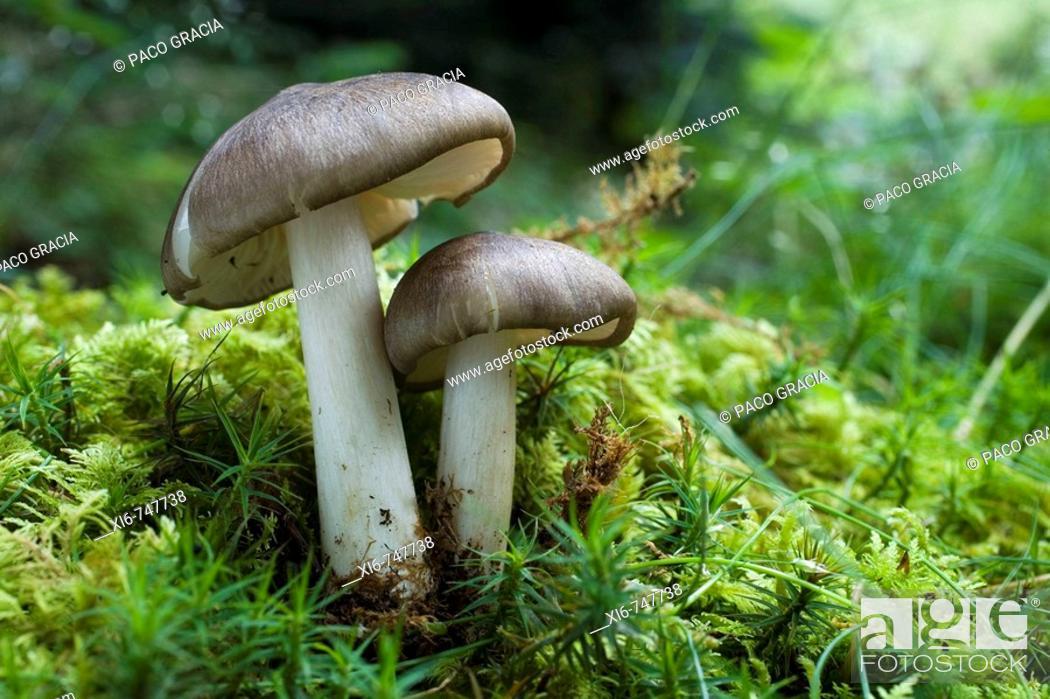 Stock Photo: Pluteus cervinus.