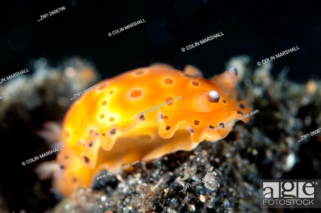 Stock Photo: Spotted Dendrodoris Nudibranch (Dendrodoris guttata) on black sand, Hairball dive site, Lembeh Straits, Sulawesi, Indonesia.