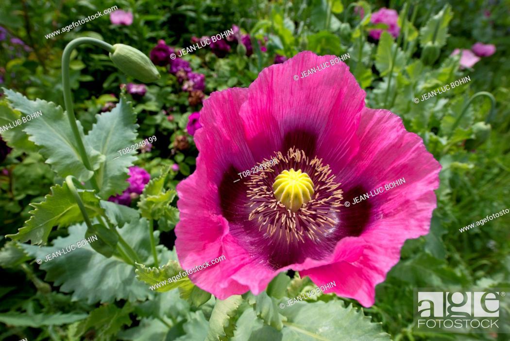 Stock Photo: France,27,giverny, Monet's garden : poppy.