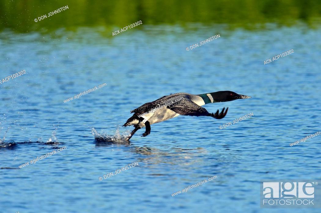 Stock Photo: Common loon (Gavia immer) taking flight, Seney NWR, Seney, Michigan, USA.