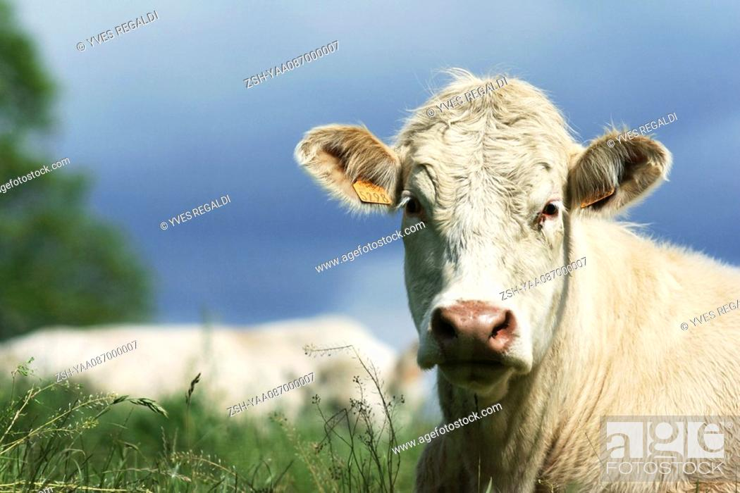 Stock Photo: White cow in pasture, close-up.
