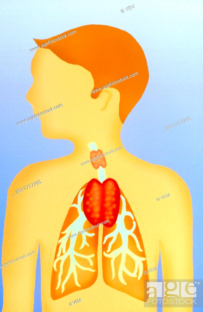 The Thymus Is A Gland Located In Front Of The Trachea It Has A Very