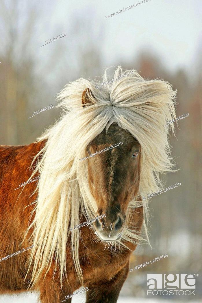 Stock Photo: Icelandic horse. Sweden.