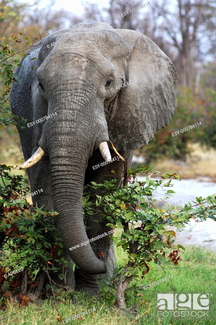 Stock Photo: African Elephant Loxodonta africana, aged bull standing the brushwood, Moremi National Park, Botswana.