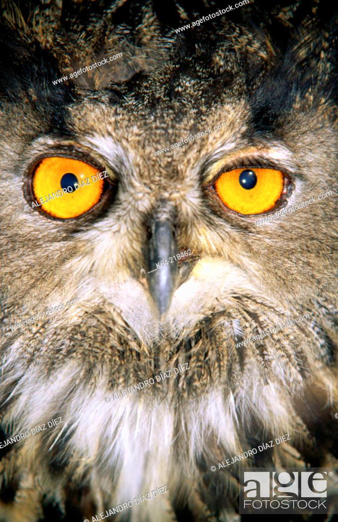 Stock Photo: Eagle Owl (Bubo bubo).