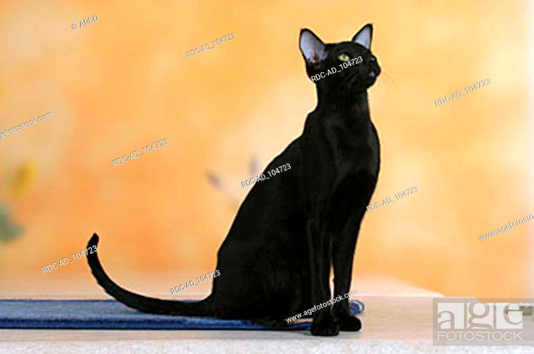 Oriental Shorthair Cat Black Ebony Stock Photo Picture And Rights Managed Image Pic Rdc Ad 104723 Agefotostock