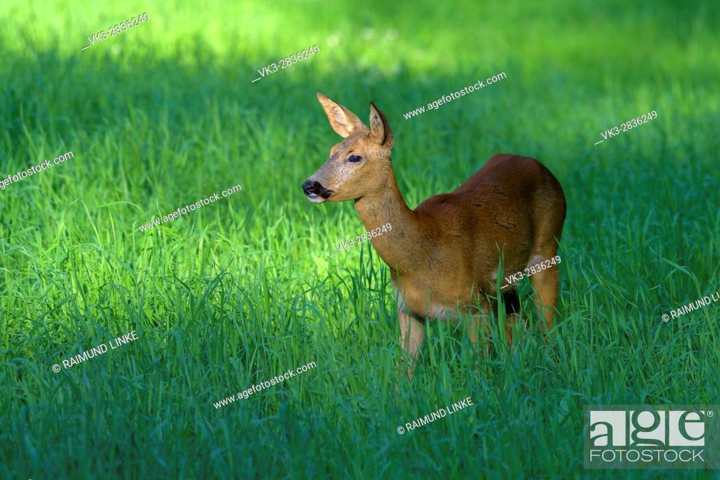 Photo de stock: Roe Deer, Capreolus capreolus, Summer, Germany, Europe.