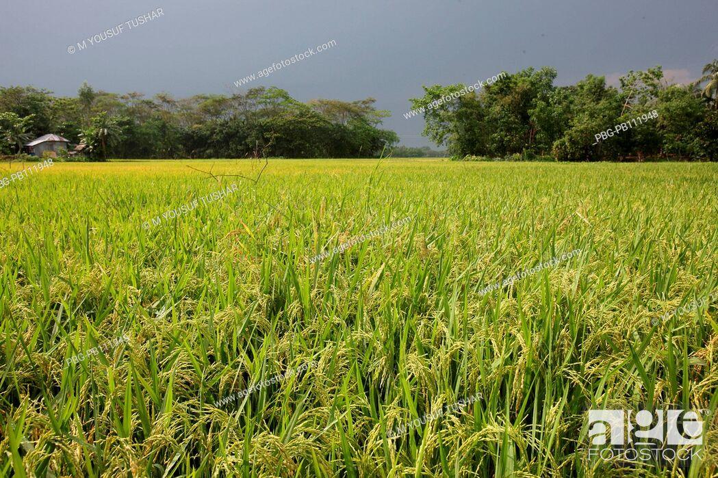 Imagen: A paddy field at Rajshahi district of Bangladesh.