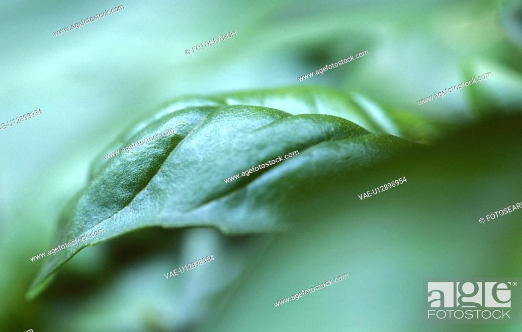Stock Photo: basil leaf, basilikumstock, calf, herb, labiate, ocimum, robert.