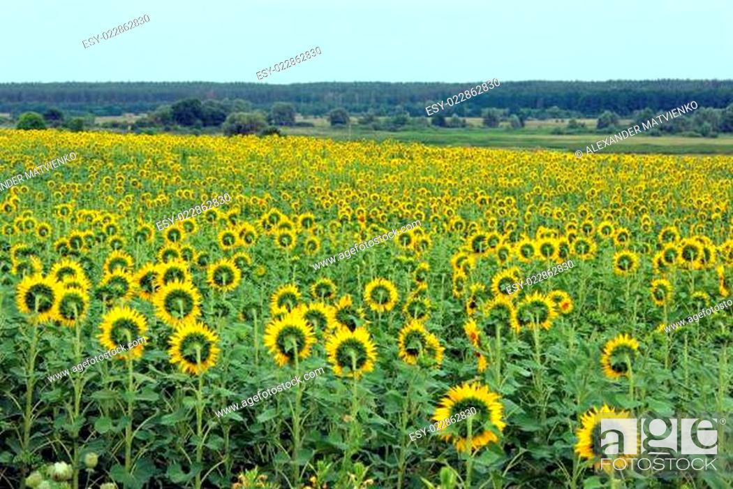 Stock Photo: field of sunflowers near the forest.