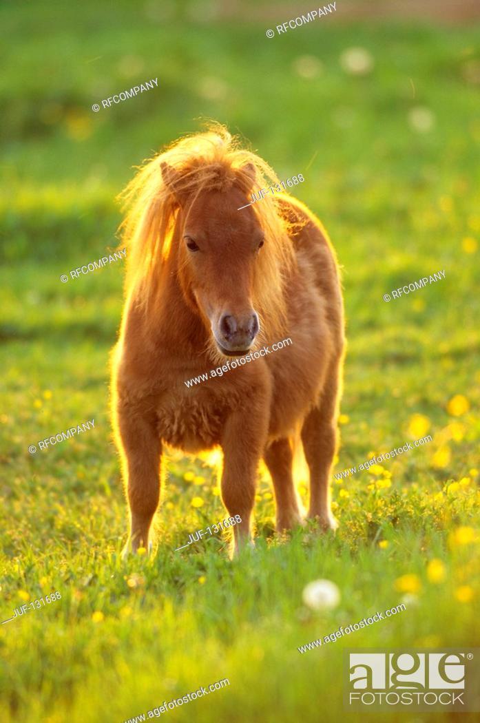 Stock Photo: Shetlandpony - standing on meadow.