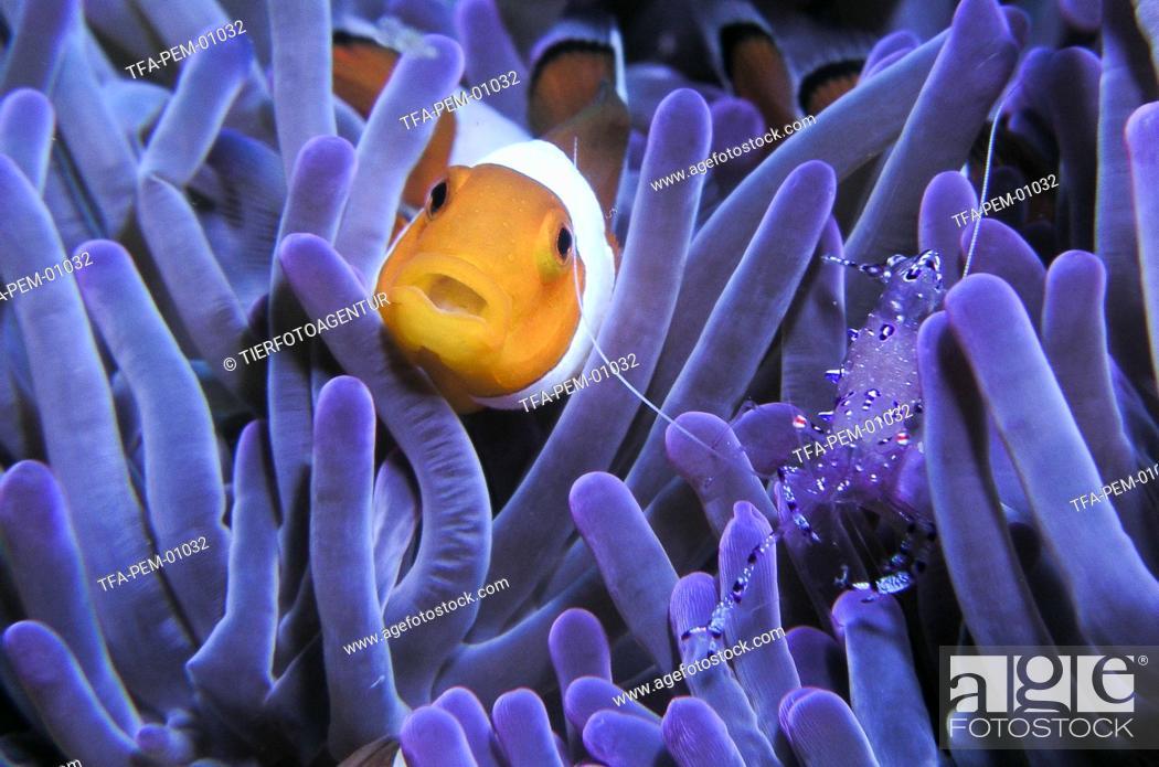 Stock Photo: false clown anemonefish.