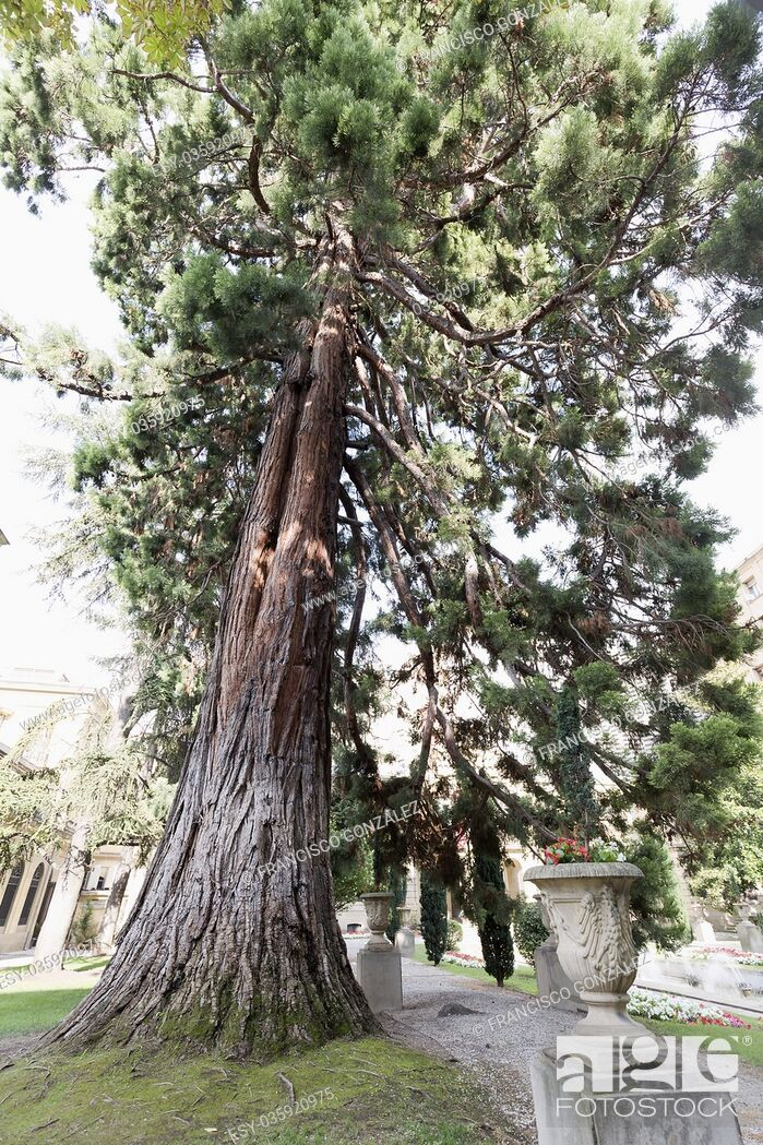 Photo de stock: The sequoia of the garden of the Palacio of Navarra in Pamplona, Spain.