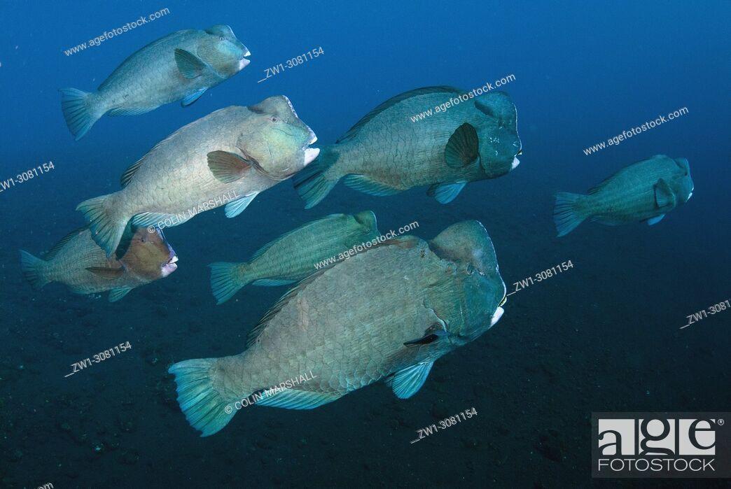 Stock Photo: School of Bumphead Parrotfish (Bulbometopon muricatum, Scaridae family), USAT (US Army Transport) Liberty wreck dive site, Tulamben, east Bali, Indonesia.