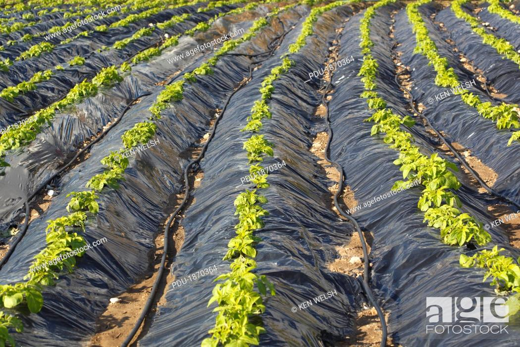 Stock Photo: Plasticulture tunnels with growing crops near Torrox, Malaga Province, Spain.