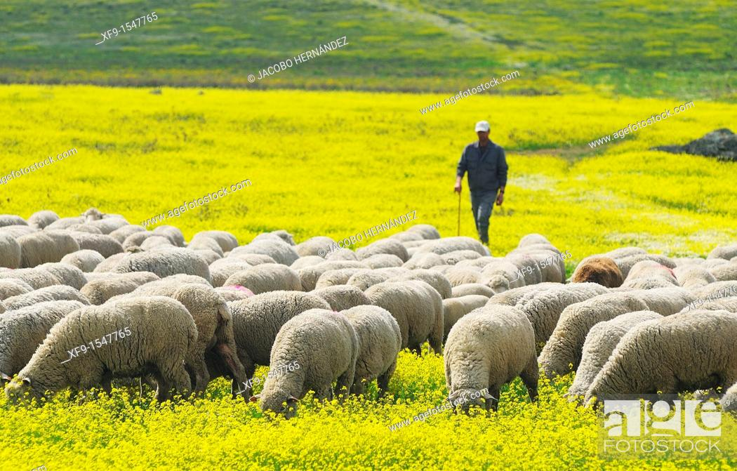 Stock Photo: Migratory flock of merino sheep. Cáceres province. Extremadura. Spain.