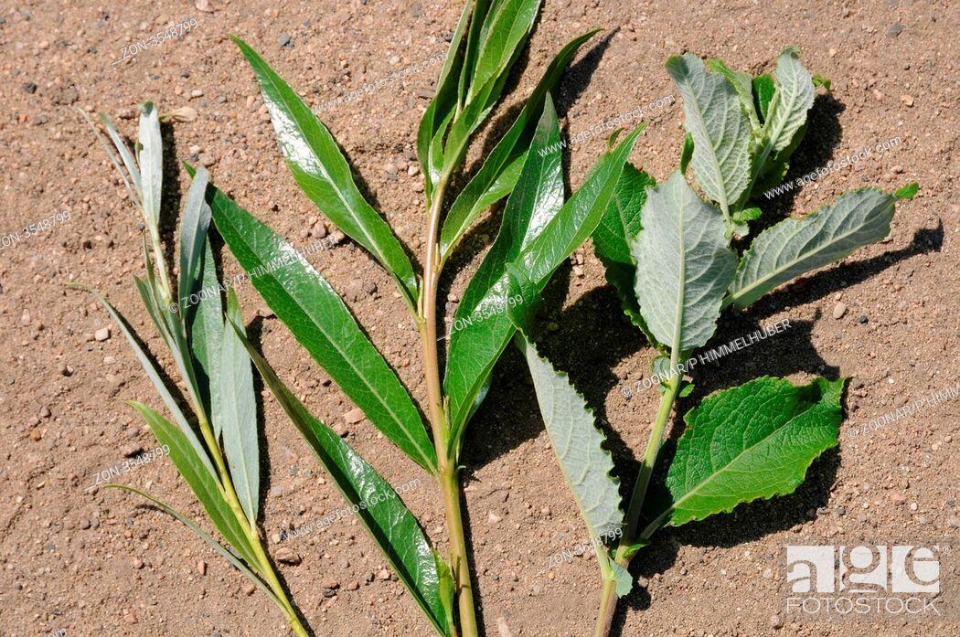 Stock Photo: typische Blätter.