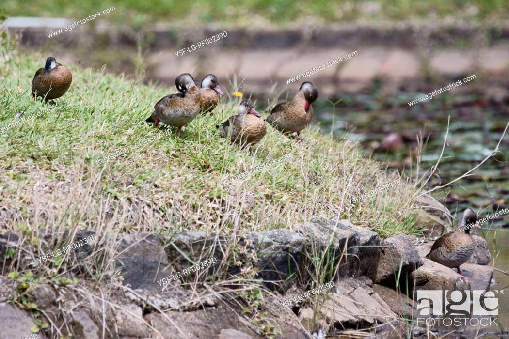 Stock Photo: Duck, Foot-red, São Paulo, Brazil.