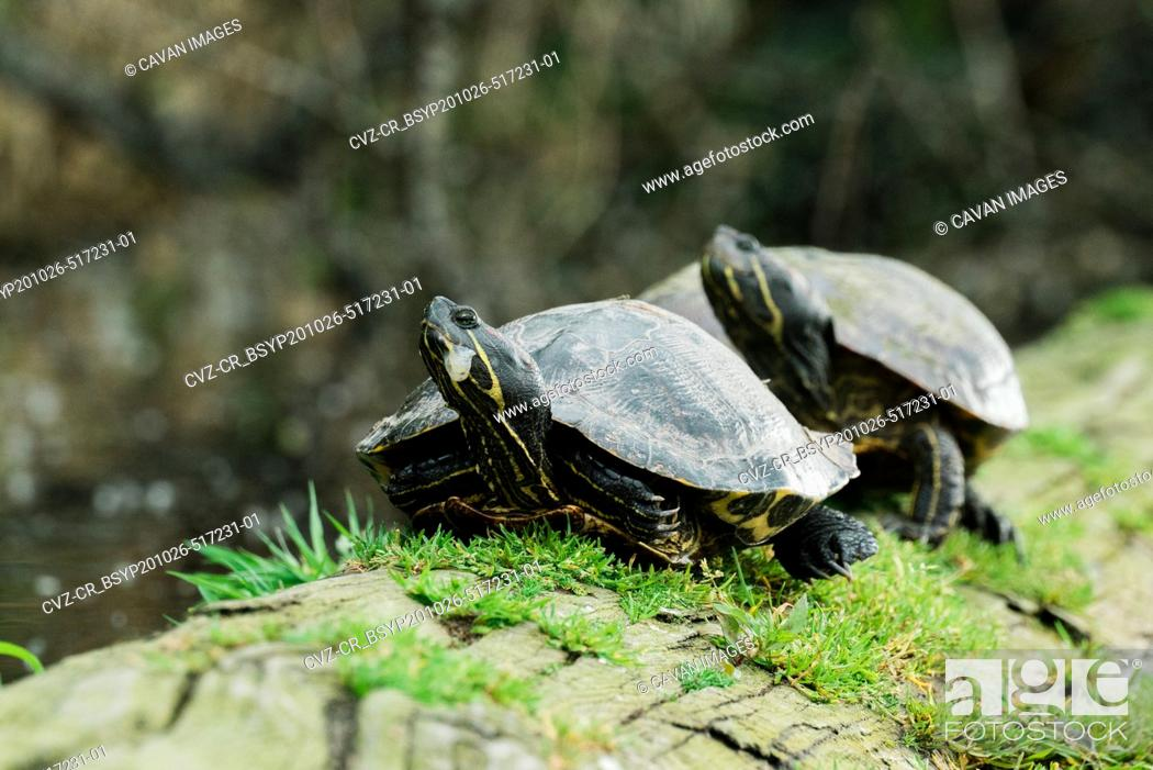 Stock Photo: Two wild red-eared sliders on a log in a pond.