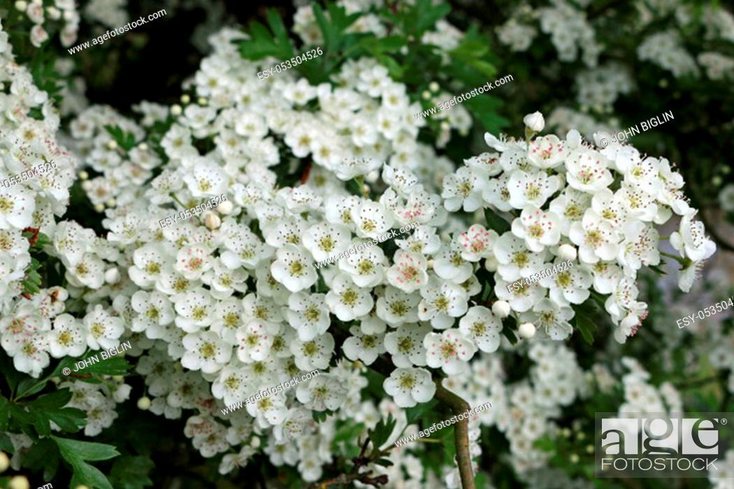 Stock Photo: Hawthorn tree (Crataegus monogyna) flowers in springtime with the flowers near their best with a dark and blurred background of leaves.